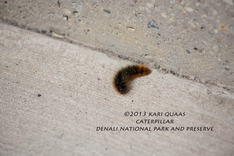 Caterpillar by Kari Quaas
