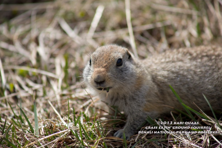 Arctic Ground Squirrel by Kari Quaas