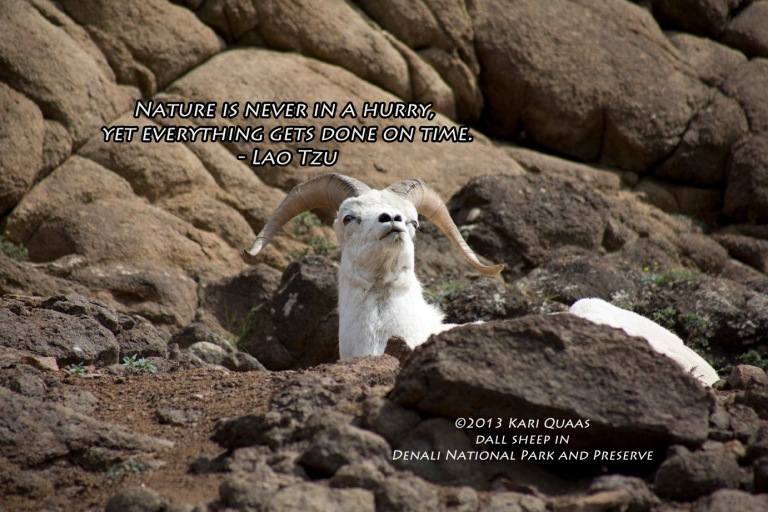 Dall Sheep by Kari Quaas