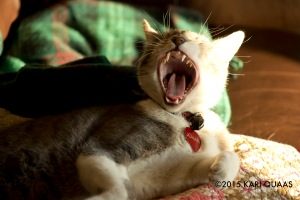 cat yawn by Kari Quaas